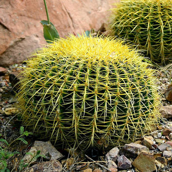 Golden Barrel Cactus Seeds, Echinocactus, 25 seeds, easy to grow, indoors or out, drought tolerant, neat houseplant, windowsill size