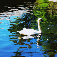 GRACEFUL..Swan Wall Art  and Home Decor by Trish Helsel Photography