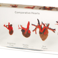Comparative Heart