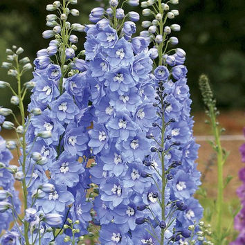 Delphinium Summer Skies Flower Seeds (Delphinium Cultorum) 50+Seeds