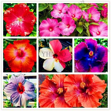 Dinnerplate Hibiscus Perennial Flower Seeds