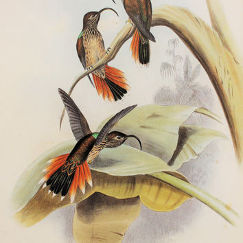 John Gould Vintage Hummingbird Print, Large Colourful Tropical Bird Print, Double Sided