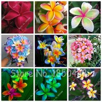 Plumeria Hawaiian Frangipani Flower For Wedding Party Decoration Romance Egg Flowers Home Garden 100pcs seeds