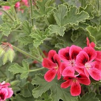 Geraniaceae.com : Details of Pelargonium 'Shrubland Rose'