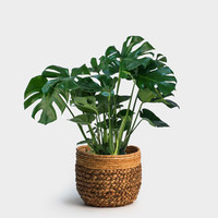 "Monstera Fensterblatt (Monstera ""Deliciosa"", Grünpflanze)"