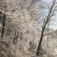 """Frosted Trees Photo, 8X10, """"Frosted Lane"""""""