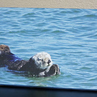 Sea Otter Canvas Photo Canvas Panoramic 8x16 Fine Art Canvas Nature and Wildlife Photography