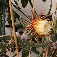 Queen of the Night Cactus Seeds (Selenicereus grandiflorus) 20+Seeds