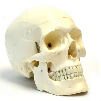 "Human Adult Skull Anatomical Model, Medical Quality, Life Sized (9"" Height) - 3 Part - Removable Skull Cap - Shows Most Major Foramen, Fossa, and Canals - Includes Full Set of Teeth"