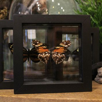 Framed Heliconius Butterfly