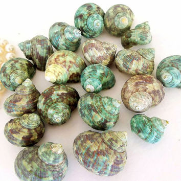 Turbo seashells 20 pc Jade Green, Turquoise sea shells blue beach ocean nautical decor, craft sea shells, bulk, hermit crab shells, Brunneus