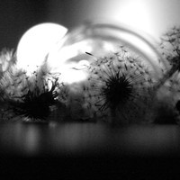Fragile ,dandelion ,Black and white, photography, Fine art print, Music, Los angeles,Still life, 8x10,coverart,2tall,Om Unit, Vinyl Records