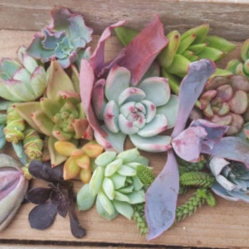 20 assorted succulent cuttings