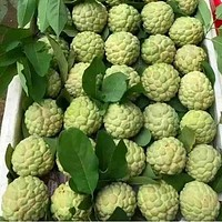 Sweetsop Sugar Apple Tree Seeds (Annona squamosa) 15+Seeds