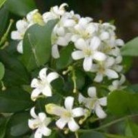 "Orange Jasmine Plant -VERY FRAGRANT- SALE* -4"" pot"