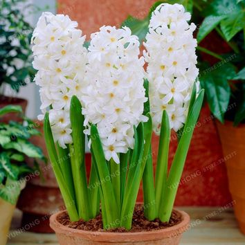 50 Pcs/ Bag Hyacinth Seeds Bonsai Flower Seeds (Not Hyacinth Bulb) Hydroponic  Flower seeds For Home Garden Easy To Grow