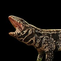 Wildlife officials ready to round up menacing tegu lizards (video)