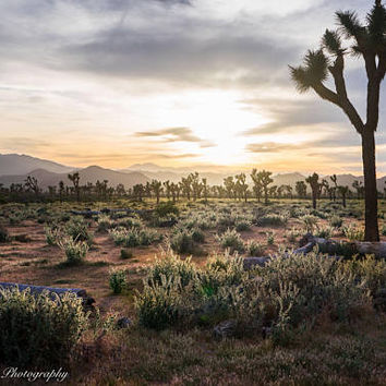 Joshua Tree Sunset Wall Art Cactus Print -- Fine Art landscape photography, California, Flower, Home Decor, HeatherRobersonPhoto