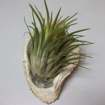 Seashell Air Plant Chesapeake Bay Sea Shells Beautiful Nature Home Spa and Office Decor