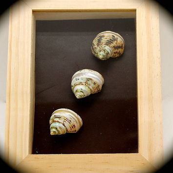 "Seashell Shadow Box- Green Banded Turbo Shells on Reclaimed Leather Inlay 9.5"" tall 7.5"" across 2"" wide. Coastal Decor Classy Resot Art."