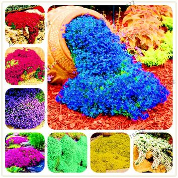 200pcs/bag  Rock cress Creeping Thyme Seeds  Multi-color Perennial flower seeds Ground cover flower garden decoration