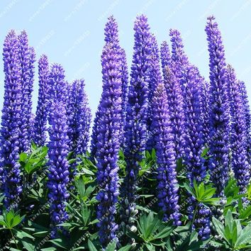 20 LUPINE Lupinus Polyphyllus Flower Seed rare annual flowers seed for home garden planting