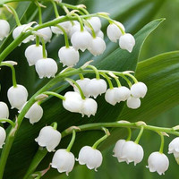 20 Lily Of The Valley Flower Seeds | White Bell Orchid Rich Aroma Bonsai Cute Beautiful Lovely Flower Fragrant Blooming