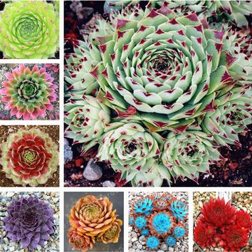 100 Pcs Amazing Sempervivum Plants Mixed Mini Garden Succulents Cactus Seeds Perennial  House Leeks Live Forever Easy To Grow