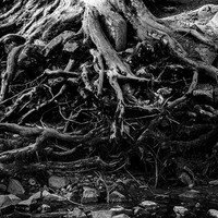 Black and White Photo of Gnarled Tree Roots, Tree Photo, Nature Photography, Tree Wall Art, Tree Decor, Fine Art Photography, 4x6-24x36