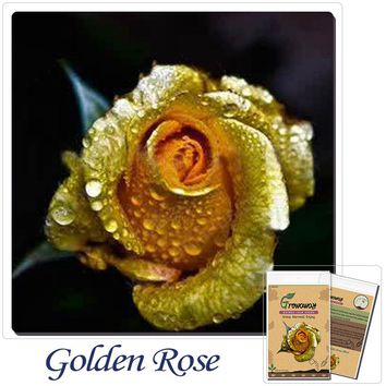 "Bonsai flower rose seeds 50pcs Really Rare ""Golden Rose"",Natural growth! Beautiful and moving! Home gardening"