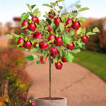 50pcs/bag Dwarf Apple Seeds Miniature Apple Tree Sweet organic fruit vegetable seeds indoor or outdoor plant for home garden.