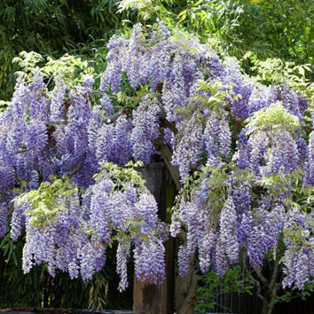 10 Purple Wisteria Flower Seeds | Fragrant Gorgeous Sinensis Hot Selling Heirloom Vine Tree Seed for DIY Home Garden Plants Decor Bonsai