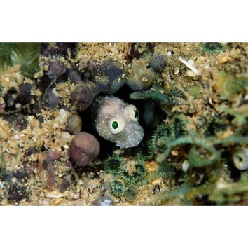 A goby fish Trimma okinawae pokes out from its burrow.