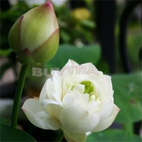 Hydroponic Flowers Small Water Lily Seeds Mini Lotus Seeds Bonsai Seeds Set Hydrophyte - 30 Pcs Mix Lotus Seeds