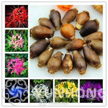 True Lycoris Bulbs,(Not Seeds), Potted Plants Planting Seasons Indoor Bonsai Plant For Home Garden-2 Bulbs