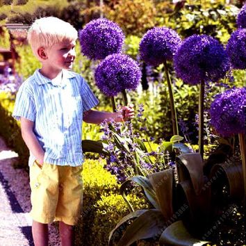 100pcs/bag Rare Giant Allium Giganteum onion seeds  (beautiful flower) Grow Rate 95% Rare Flower