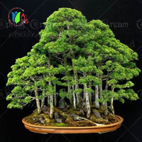 50pcs juniper bonsai tree seeds potted flowers office bonsai purify the air absorb harmful gases