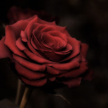"Red Rose Photography Fine Art Print 8""x12"", living room decor wall decor, home decor, flower photography, nature photography, red black art"