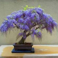 Chinese Wisteria Vine, Very Fragrant, Grow as a Bonsai, Seeds