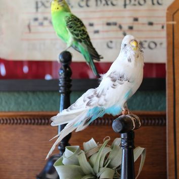 Mounted Taxidermy Parakeet