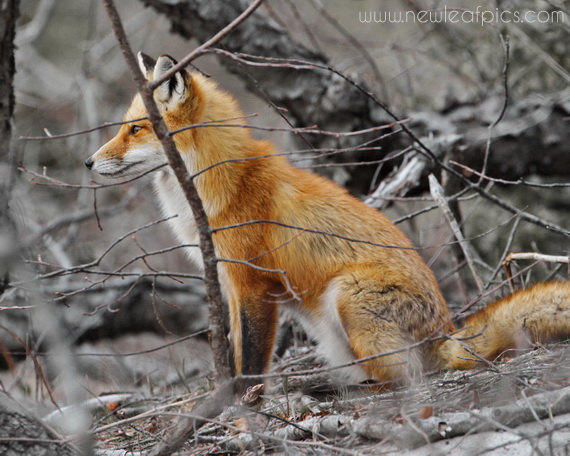Red Fox Photograph Orange And Brown Wall From New Leaf