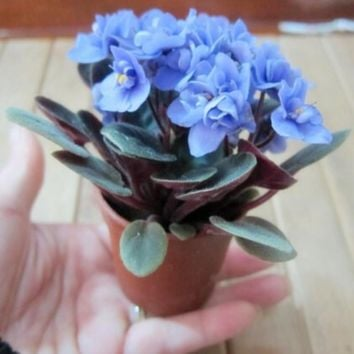 Beautiful plant Bonsai flower seed,African mini sky blue violet seeds - 30 seeds