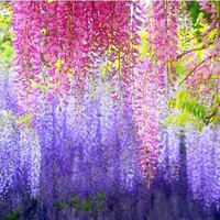 Wisteria Wisteria Vine saplings seed upscale vegetable garden plants flower seeds 2 seeds
