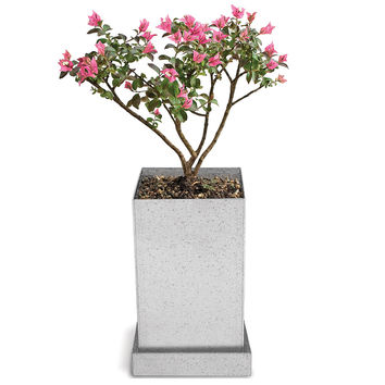 Crepe Myrtle Bonsai Specimen Tree | bonsai supplies