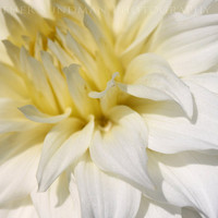 White Dahlia Flower Close Up 5x7 Photograph by ArtbyHeatherRose
