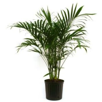 Delray Plants, Cateracterum Palm in 10 in. pot, 10CAT at The Home Depot - Mobile