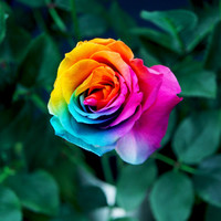 50 Seeds Rare Rainbow Rose Seed For Your Lover Rainbow Rose Flower Seed