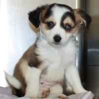 Petfinder Adoptable Dog | Fox Terrier | Poland, IN | Pecan ~ MEDICAL HOLD!!