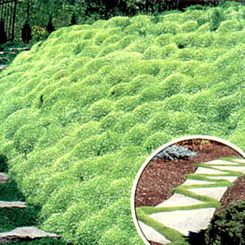 100 - Irish Moss Seeds -  Heirloom Irish Moss, Non-GMO Irish Moss, Perennial Groundcover Seeds, Heirloom Moss Seeds, Non-gmo Moss Seeds