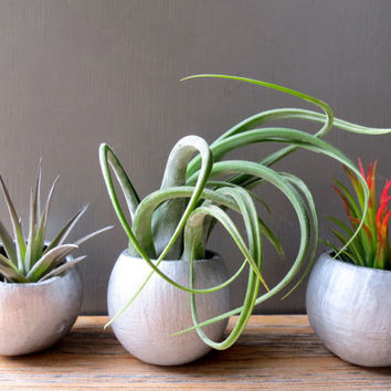 Silver Shimmer Containers with Three Unique Tillandsia Air Plants: Ionantha Fuego, Aeranthos, and Tillandsia Circinata / Holiday Gift Idea!